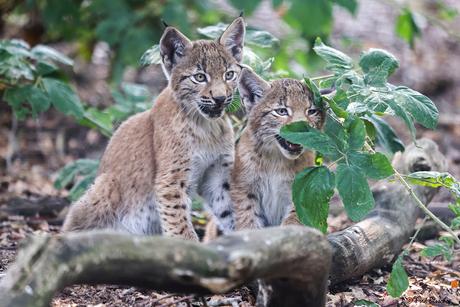 spelende kleine lynxen