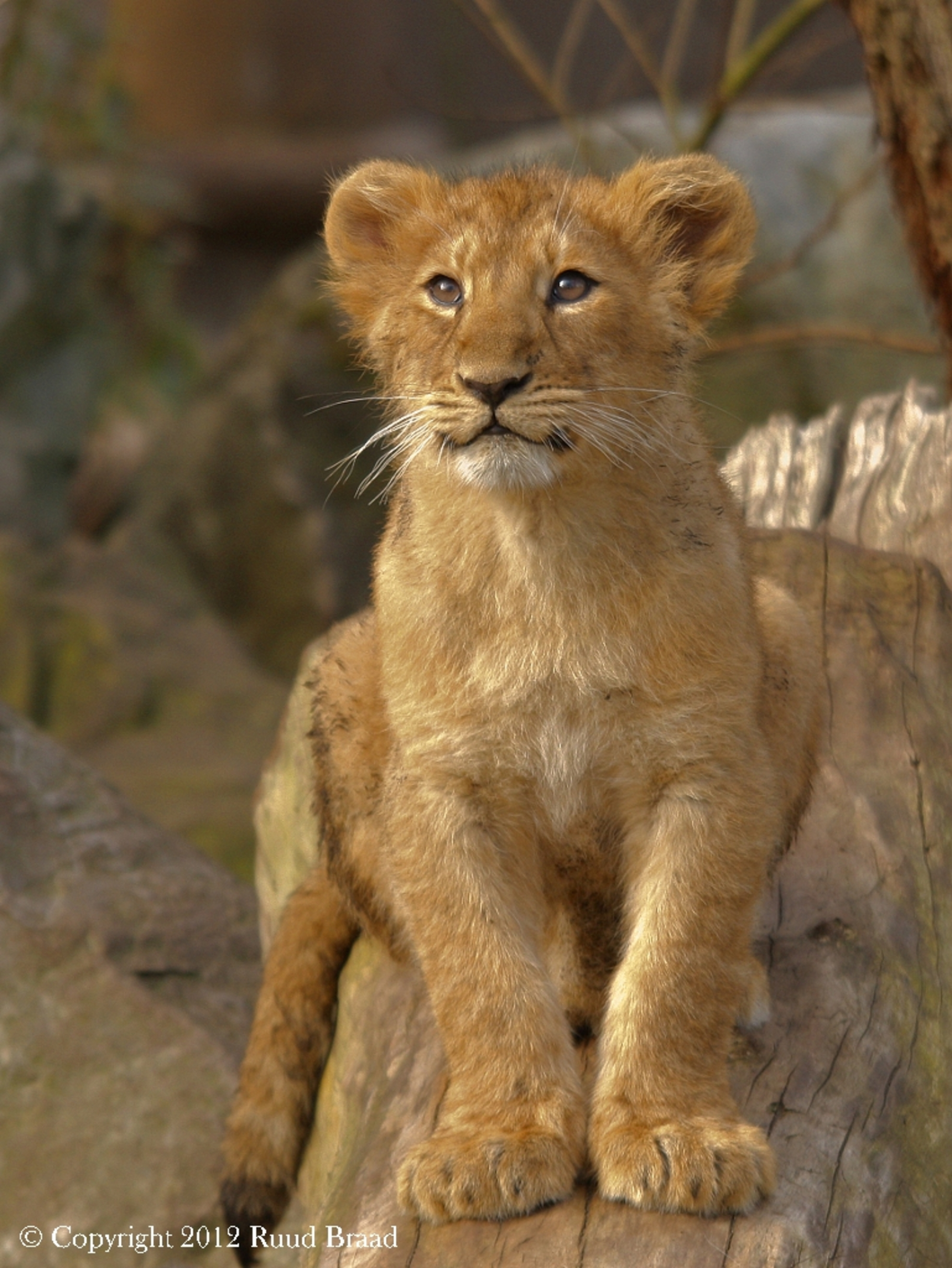 Aziatisch Leeuwenwelpje - Aziatisch Leeuwenwelpje...in Blijdorp Rotterdam!  Bedankt voor jullie reacties op mijn vorige upload.  Groetjes Ruud - foto door kyano09 op 12-03-2012 - deze foto bevat: dierentuin, dieren, leeuw, leeuwen, blijdorp, welp, diergaarde, leeuwtje, leeuwtjes, welpje, welpjes, leeuwenwelp, leeuwenwelpjes, leeuwenwelpje, dierentuinen, blijdorp rotterdam, aziatische leeuw, koning der dieren, leeuwenwelpen, diergaarde Rotterdam, aziatische leeuwen, aziatisch leeuwtje, Aziatische Leeuwenwelpje, Aziatische Leeuwenwelpjes, Aziatische Leeuwenwelp - Deze foto mag gebruikt worden in een Zoom.nl publicatie