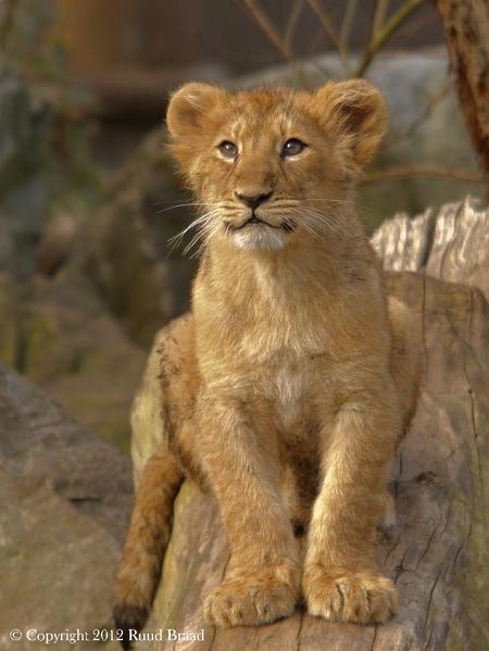Aziatisch Leeuwenwelpje - Aziatisch Leeuwenwelpje...in Blijdorp Rotterdam!  Bedankt voor jullie reacties op mijn vorige upload.  Groetjes Ruud - foto door kyano09 op 12-03-2012 - deze foto bevat: dierentuin, dieren, leeuw, leeuwen, blijdorp, welp, diergaarde, leeuwtje, leeuwtjes, welpje, welpjes, leeuwenwelp, leeuwenwelpjes, leeuwenwelpje, dierentuinen, blijdorp rotterdam, aziatische leeuw, koning der dieren, leeuwenwelpen, diergaarde Rotterdam, aziatische leeuwen, aziatisch leeuwtje, Aziatische Leeuwenwelpje, Aziatische Leeuwenwelpjes, Aziatische Leeuwenwelp