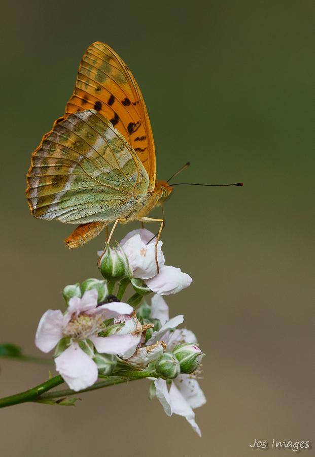 Keizersmantel - Voor mij persoonlijk een van de mooiste in Holland voorkomende vlinder. Maar verschrikkelijk druk en daarom niet makkelijk te fotograferen.  Daarom  - foto door Digipics op 23-07-2013 - deze foto bevat: keizersmantel