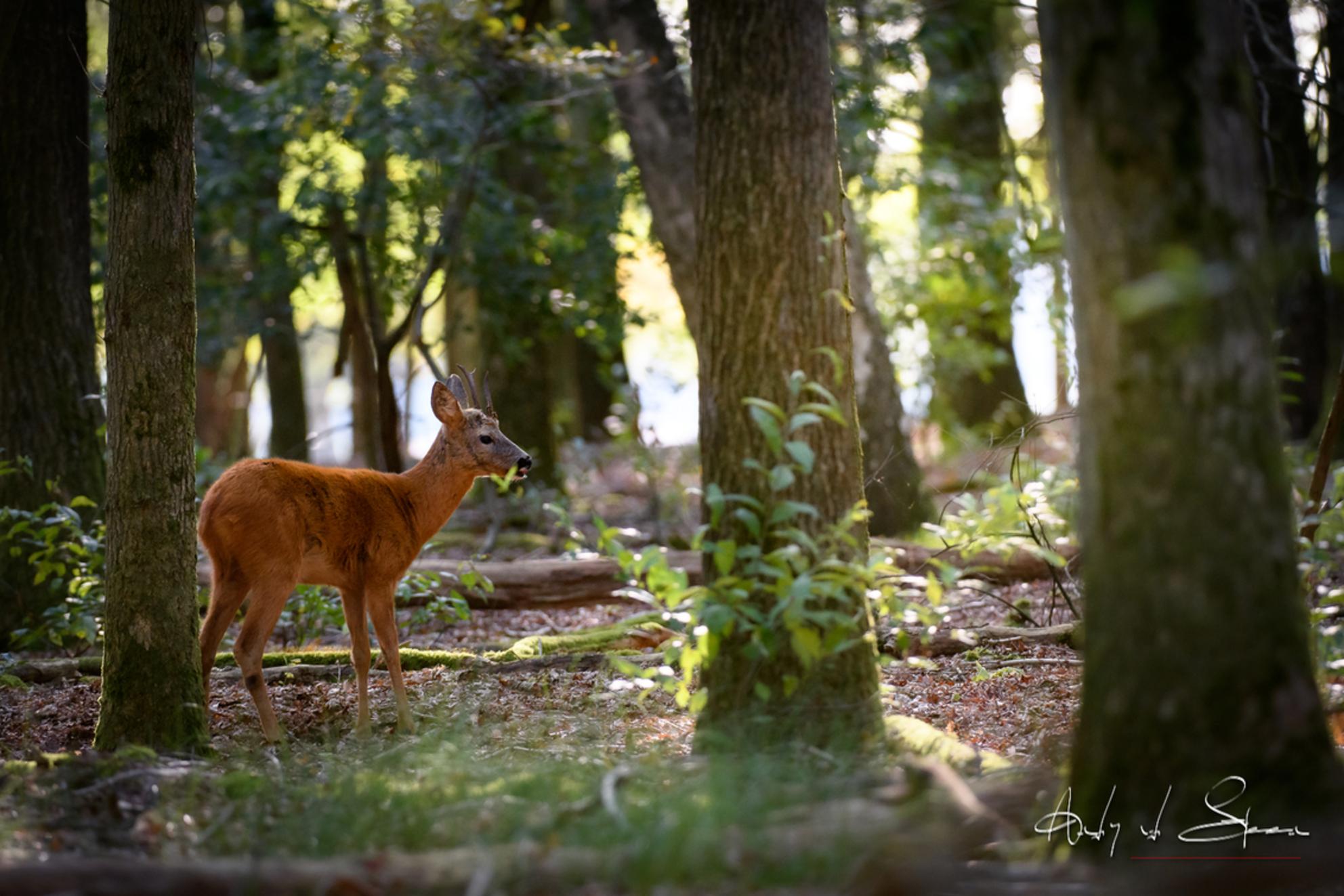 ree - - - foto door AndyvdSteen op 23-09-2020 - deze foto bevat: natuur, ree, bos, reeen, reetjes, wildlife, reetje, westerheide