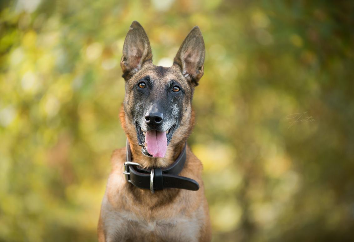 Portret van een diensthond - Ex politiehond Kane voor mijn lens gehad. Een fantastische hond!! - foto door HannahV op 19-04-2018 - deze foto bevat: groen, bladeren, natuur, bos, hond, herder, vrolijk