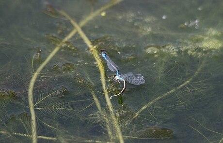 De libel legt haar eitjes tussen de waterplanten