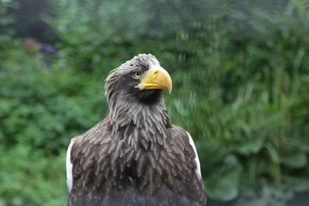 Adelaar - eerste foto die ik hier heb ge-upload - foto door Goppy op 29-06-2014 - deze foto bevat: dierentuin, dieren, vogel, roofvogel, blijdorp