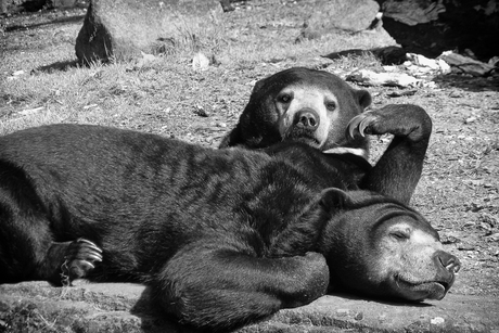 Relaxte Maleise beren