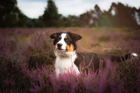 Odin the Dog - 5,5 jaar geleden gestopt met fotografie, omdat ik er geen plezier meer in had door externe factoren. Sinds kort een puppy genaamd Odin in huis en mis - foto door smurfkuh op 02-09-2020 - deze foto bevat: dieren, hond, hei, puppy, Strabrechtse heide