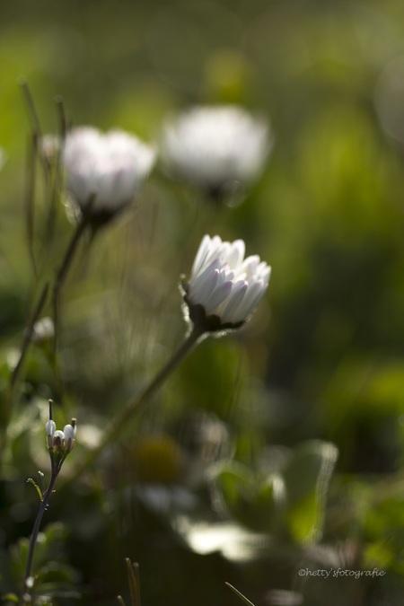 White, tender and wild.... - - - foto door hettysfotografie op 14-04-2015 - deze foto bevat: macro, wit, bloem, natuur, blad