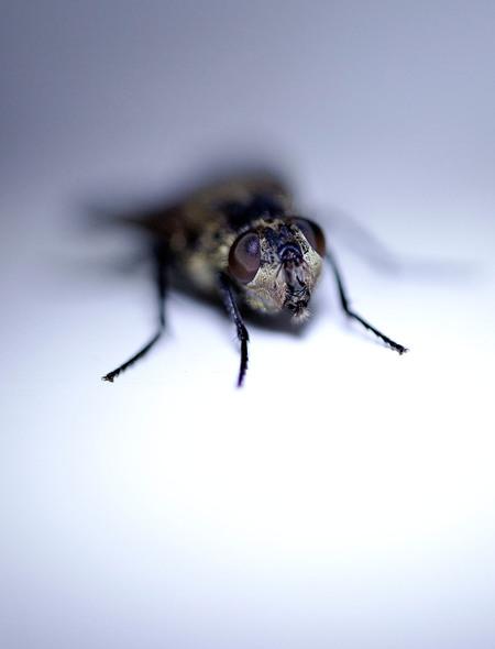 Een monster in mijn huis - Vandaag zag ik deze vlieg op het kozijn zitten, met mijn Canon Macro MP-E 65mm genomen uit de hand  Gr sam en even in het groot zien - foto door sambikkeltje op 04-03-2021