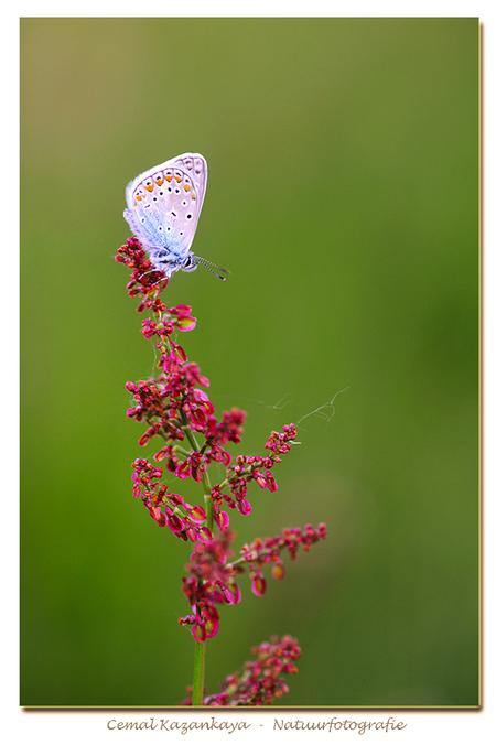 Icarusblauwtje - Icarusblauwtje.. - foto door CemalKazankaya op 31-05-2017 - deze foto bevat: groen, paars, macro, wit, blauw, bloem, lente, natuur, vlinder, bruin, blauwtje, icarusblauwtje, oranje, zomer, insect, dof, bokeh, cemal kazankaya