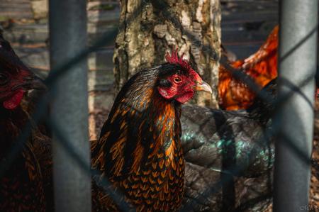 De Kip - Tijdens mijn wandeling door de stad tegengekomen. - foto door MdE Fotografie op 04-03-2021 - deze foto bevat: kleur, straat, hek, natuur, licht, dieren, vogel, schaduw, kip, jong