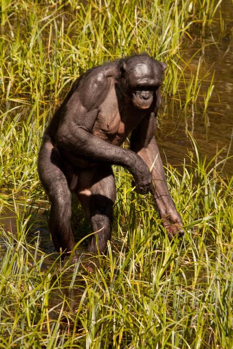 Bonobo mensaap