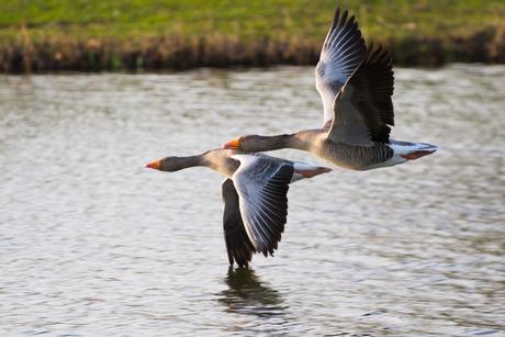 Nijlganzen in vogelvlucht