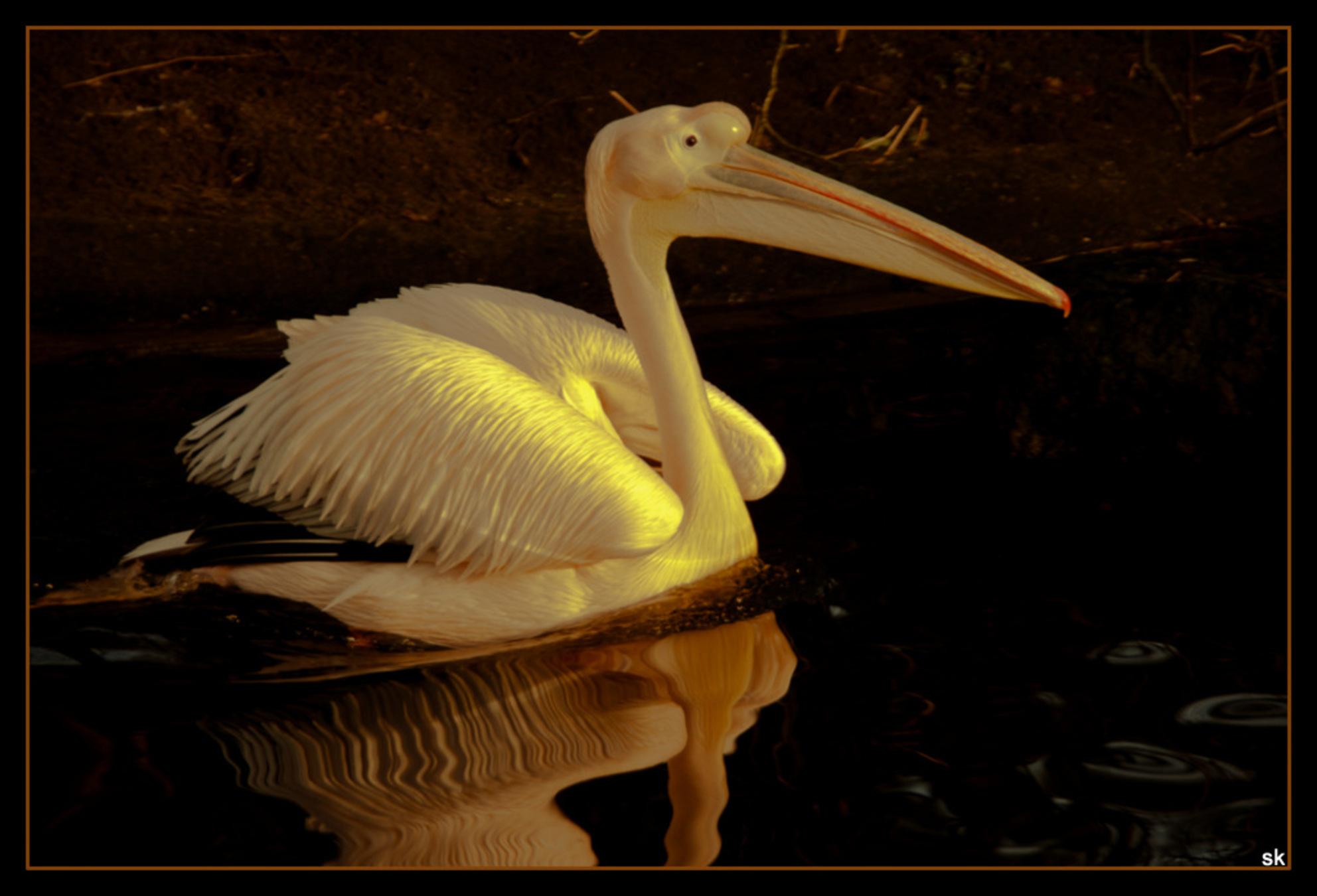 Pelikaan in Emmen - Dagje dierentuin. Wel heel bijzonder in de winter. - foto door sjoukelien123 op 02-01-2013 - deze foto bevat: dierentuin, pelikaan, emmen