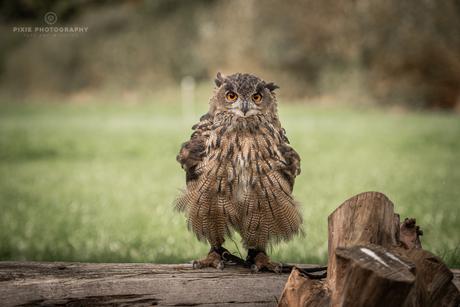 Angry bird! Europese Oehoe