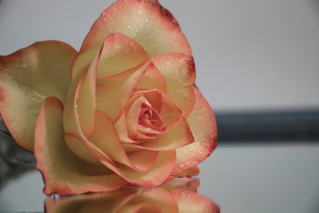 ontkleurd roosje