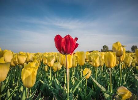 You are never alone - Tulpen in in de avondzon... Friesland - foto door Camerabonny op 08-05-2020 - deze foto bevat: tulpen, landschap