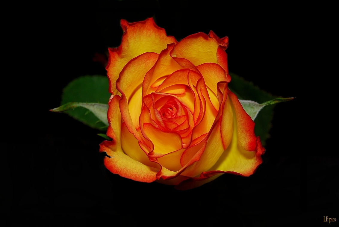 High Magic 2 - Nog maar eentje dan omdat die zo mooi is - foto door XIANG op 19-02-2010 - deze foto bevat: rood, roos, geel, high magic