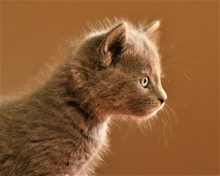 Statisch geladen! - Een van de kittens die ik een aantal weken geleden mocht fotograferen.  Bedankt voor alle mooie reacties en fijne beoordelingen bij mijn vorige upl - foto door ManuelaDols op 05-04-2021 - deze foto bevat: kitten, poes, portret, huisdier, kat, close-up, Blauwe Rus, manuela dols