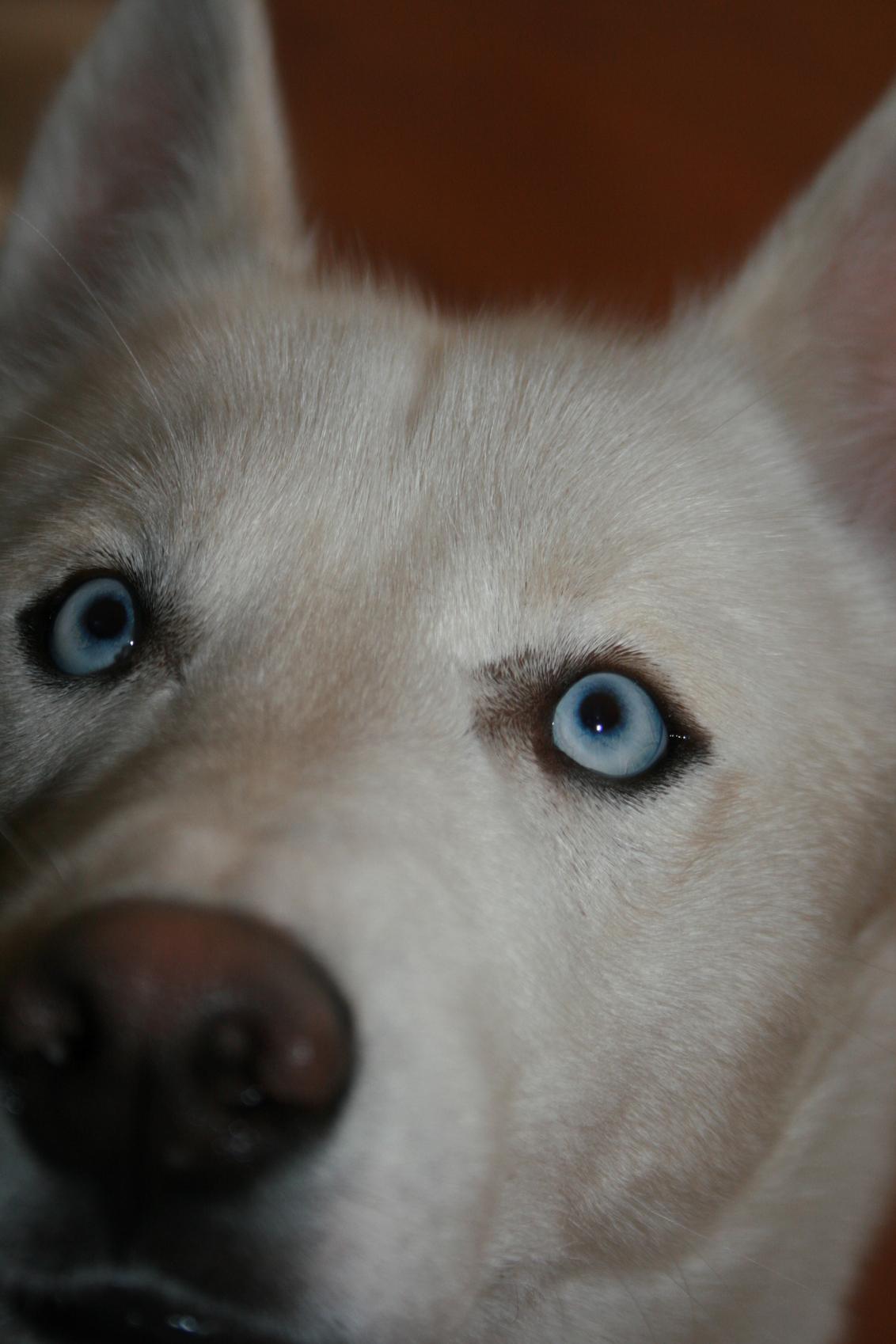 blue I - - - foto door glimmend op 20-01-2009 - deze foto bevat: eyes, hond, blue, husky