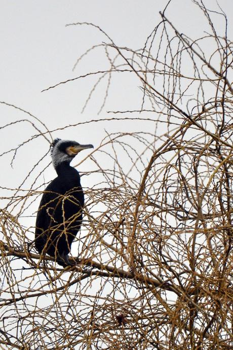 aalscholver hoog in de boom