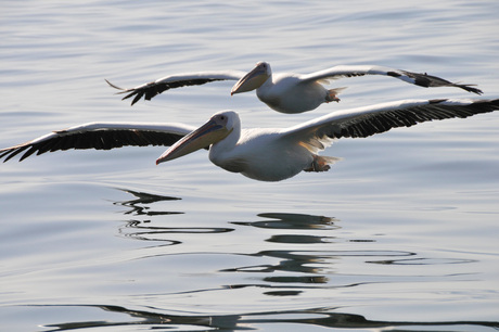 pelikanen over het water