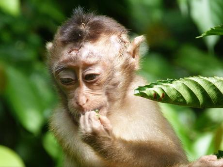 Aapje op Borneo