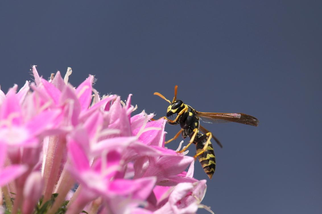 Wesp geniet van zonnetje - wesp rust uit op bloem en geniet van de zon - foto door lsereno op 24-07-2011 - deze foto bevat: roze, bloem, wesp