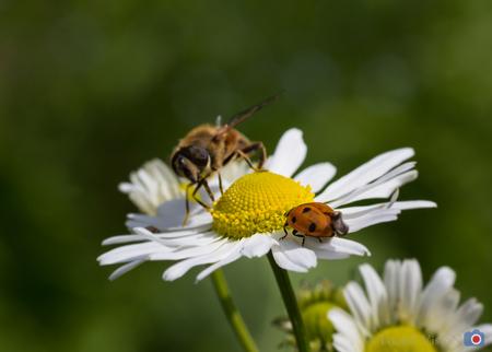 Dinner for two - Gezamenlijk genieten van de natuur. - foto door toons-vision op 25-10-2014 - deze foto bevat: groen, macro, wit, zon, bloem, natuur, lieveheersbeestje, vlieg, zweefvlieg, geel, tuin, zomer, insect
