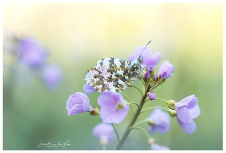Rust - Rust.. een vlinder op een prachtige bloem..de zon die opkomt.. vogeltjes fluiten..Wat hou ik van de lente! - foto door jannette_s1 op 24-04-2019 - deze foto bevat: groen, paars, macro, bloem, lente, natuur, pinksterbloem, vlinder, druppel, geel, licht, oranjetipje, insect, dof, bokeh