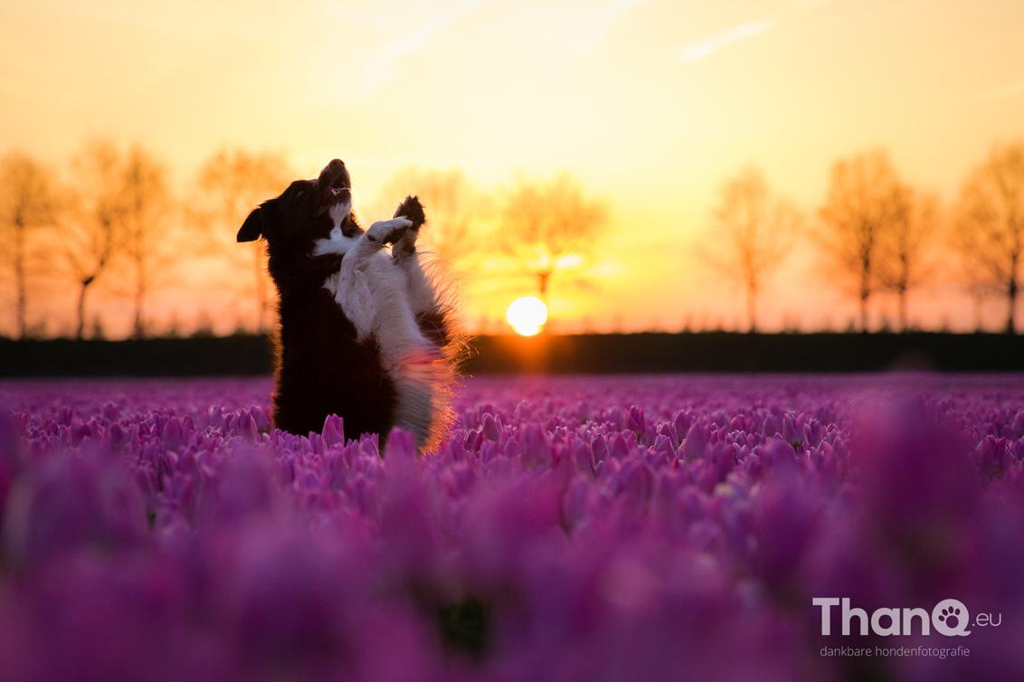 Fenna poseert bij de tulpen - Net voor de zon onder ging nog even tegenlicht foto's gemaakt. Ik wilde Fenna hoger in beeld hebben, zodat haar silhouette duidelijker naar voren zou - foto door p.bezuijen op 17-04-2017 - deze foto bevat: tulpen, lente, huisdier, hond, tegenlicht, dier, zonlicht, tulpenveld, Border Collie, gouden uur, hondenfoto, hondenfotograaf