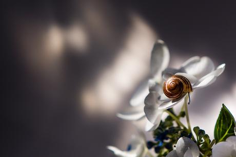 Lichtval op hortensia