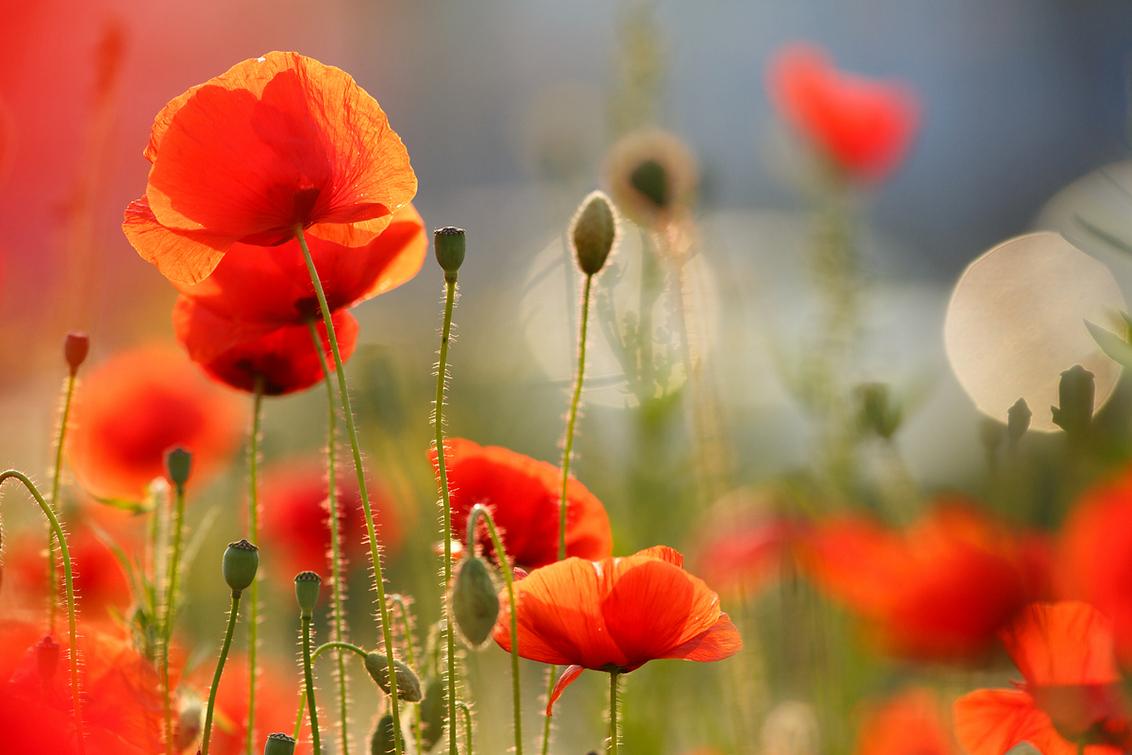 """Poppies! - """"Een schijnbaar eindeloze bloemenzee, juffers fladderden om me heen…. Het zag er zo mooi uit, het rook zo lekker, deze eindeloze natuur…tussen de sn - foto door thrumyeye op 10-09-2013 - deze foto bevat: kleuren, rood, macro, bloem, nature, bloemen, landschap, klaproos, zomer, canon, sfeer, happy, fotografie, poppy, romantisch, mood, bokeh, photography, papaveraceae, roeselien raimond"""