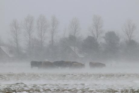 Koeien in een sneeuwstorm