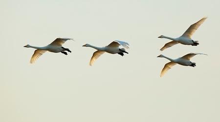De morgenstond ... - De morgenstond...  'Den Morgenstont'  sprak Pieter Bruegel, 'en heeft niet slechts goudt in den mont, maer ooc in den vleugel ! :-)   (NoordOoste - foto door willemdewolf op 22-02-2021 - deze foto bevat: vogel, watervogel