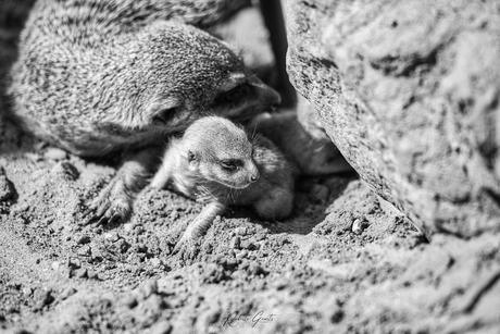 Baby Meerkat B&W