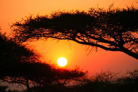 Parapluboom bij zonsondergang