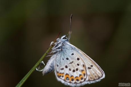 blauwtjes - Lycaenidea, Bargerveen