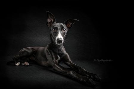Whippet pup - - - foto door monicavdm op 31-08-2015 - deze foto bevat: zwart, dieren, hond, nikon, studio, ras, pup, whippet, windhon