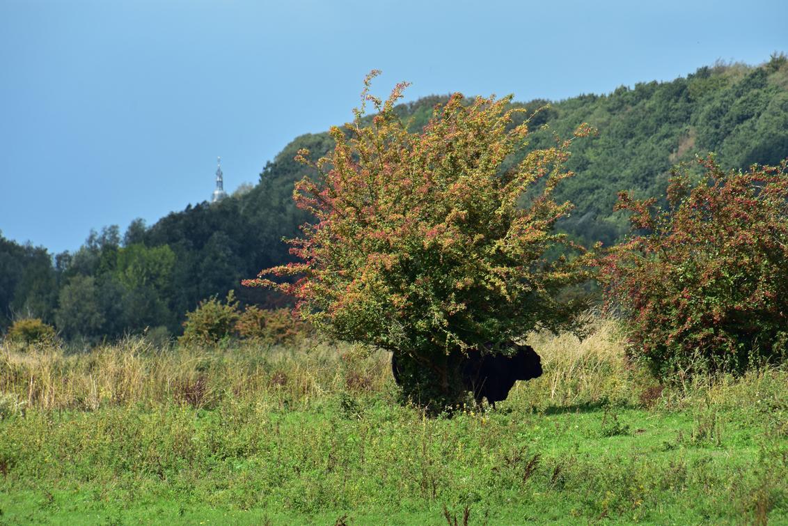 grebbeberg - stier voor boom voor Grebbeberg voor kerktoren Rhenen - foto door MarjanMArjan op 26-02-2021