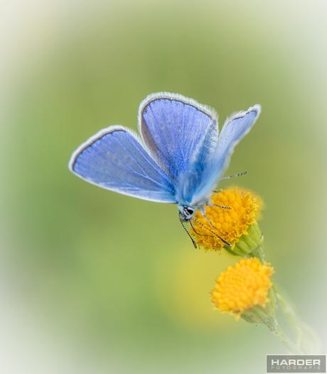 icarusblauwtje-2