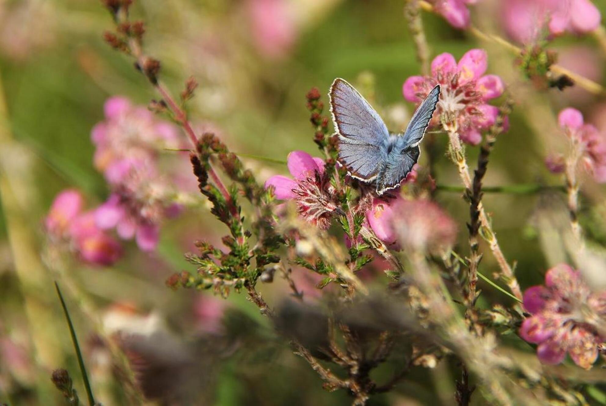 Zomer in het Boetelerveld - Zomer kleuren in het Boetelerveld, zoomdag Heino - foto door Duckie_zoom op 30-06-2013 - deze foto bevat: paars, heide, zoomdag, heino, heideblauwtje