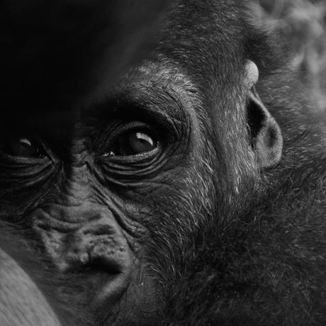 Gorilla in Burgers' Zoo 2