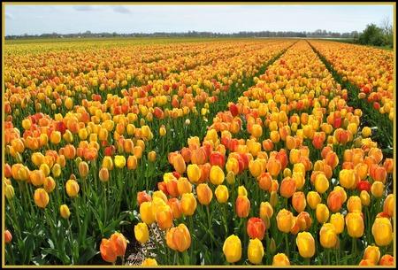 Tulpenveld in Anna Pauwlona. - Twee weken geleden naar de bloemendagen in Anna Paulowna geweest. Prachtige mozaïeken gezien. - foto door FemmieKoekoek op 18-05-2015