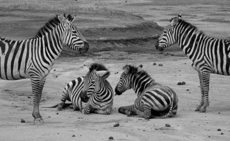 Zebra-formatie ;-)