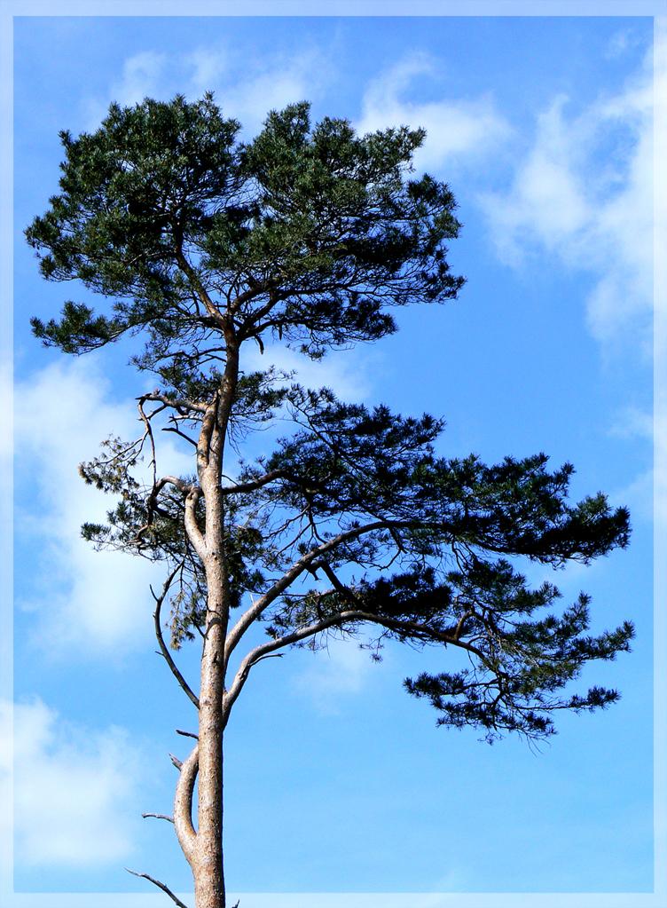 Up High - Deze boom staat te pronken op de lemelerberg. (ook even int groot bekijken) - foto door daniel44 op 10-04-2007 - deze foto bevat: groen, lucht, wolken, blauw, boom, blad, hoog, stam, daniel44, lemeler