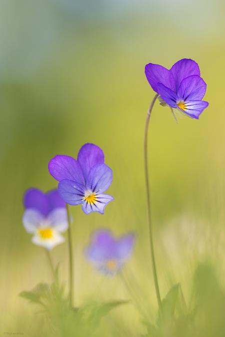 Happy violets - Ik vond een klein tapijtje van wilde viooltjes in een natuurgebied vlak bij huis. - foto door mourik57 op 10-05-2020 - deze foto bevat: macro, natuur, voorjaar, mei, sfeer, vrolijk, blij, brigit, viola tricolor, wilde viooltjes