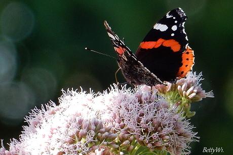 Atalanta Vlinder.....