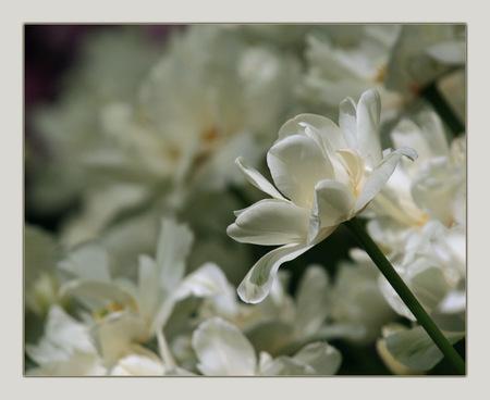 Voorjaar 6 - Gemaakt op de Keukenhof;-) - foto door klara op 22-03-2009 - deze foto bevat: bloem, tulpen, lente, tulp, keukenhof, voorjaar