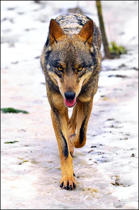 Canis Lupus - 200mm f/3.5 1/640 ISO 1250 - foto door heronimus_zoom op 19-01-2010 - deze foto bevat: wolf, dierentuin, winter, roofdier, sneew
