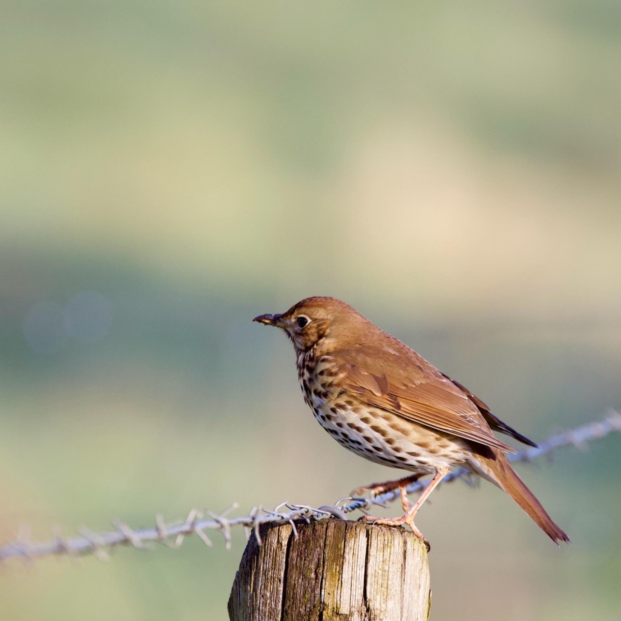 Zanglijster - Ik heb deze opname al eerder geüpdatet, nu iets gecropt zoals      Fred-horst en Jan Houben hadden voorgesteld om meer rust te krijgen op de opname.  - foto door de-lasser2019 op 28-02-2021 - deze foto bevat: natuur, dieren, vogel, zanglijster